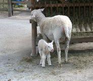 Sheep and lamb Stock Image