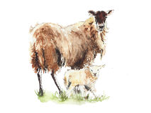 Sheep with lamb animals watercolor painting illustration isolated on white background Royalty Free Stock Photography
