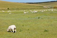 Sheep and lamb in the beautiful green Seven Sisters Country Park Stock Image
