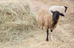 Sheep and lamb. Black and white mother sheep with her lamb eating hay Royalty Free Stock Images