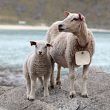 Sheep and lamb in coast Stock Photo