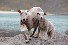 Sheep and lamb in coast.  Royalty Free Stock Images