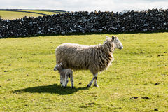 Sheep and Lamb in Derbyshire field. Sheep and lamb in Derbyshire field with stone wall Royalty Free Stock Images