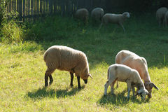Sheep and a lamb. Sheep and lamb of different races on a pasture Royalty Free Stock Photos