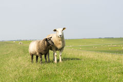 Sheep with lamb on the dike. In germany Stock Images