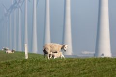 Sheep with lamb at dike near Dutch wind turbine farm. Sheep with lamb at dike near wind turbine farm in Flevoland, The Netherlands royalty free stock photo