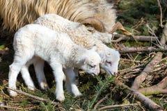 Sheep with lamb, easter symbol stock photos