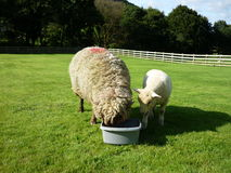 Sheep with lamb in Ireland. Sheep eating from a bucket stock image