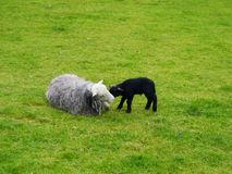 Sheep and lamb. Engaged in close affection Stock Photography