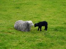 Sheep and lamb. Engaged in close affection Royalty Free Stock Image