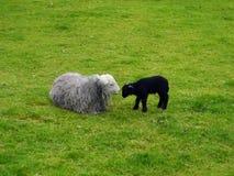 Sheep and lamb Royalty Free Stock Image