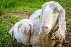 Sheep lamb and ewe lying on meadow. New born lamb stock photography