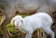 Sheep lamb and ewe Royalty Free Stock Image