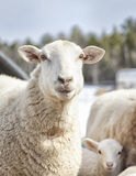 Sheep and lamb. Ewe sheep standing next to a lamb.  Springtime in Wisconsin Stock Images