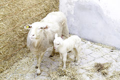 Sheep and lamb farm Royalty Free Stock Photography