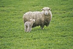 Sheep and lamb in farmyard, Spring Stock Photography