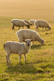 Sheep with lamb in UK Stock Photo
