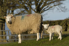 Sheep and lamb in field Royalty Free Stock Photos