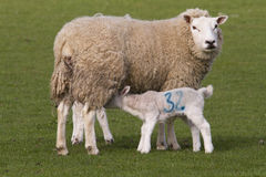 Sheep and lamb in field Stock Image