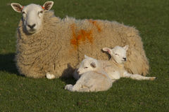 Sheep and lamb in field Stock Photos