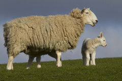 Sheep and lamb in field Royalty Free Stock Image