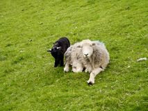 Sheep and lamb on grass Royalty Free Stock Photography