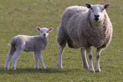 Sheep and lamb grazing Stock Photo