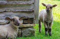 Free Sheep / Lamb Grazing Royalty Free Stock Image - 42694036