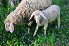 Sheep and lamb Royalty Free Stock Photo