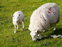 Sheep and lamb. Sheep grazing with lamb looking to camera Stock Images