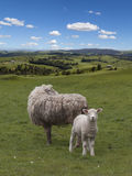 Sheep and lamb grazing Stock Photography