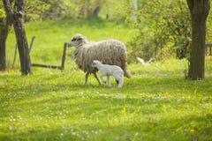 Sheep and lamb on green field Royalty Free Stock Photos