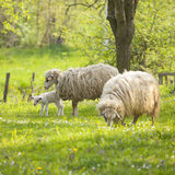 Sheep and lamb on green field Stock Image