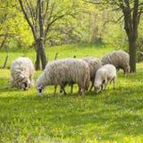 Sheep and lamb on green field Royalty Free Stock Photo