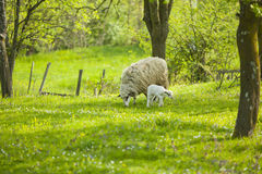 Sheep and lamb on green field eat grass. Sheep and lamb on green field in spring Stock Photography