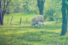 Sheep and lamb on green field Stock Images