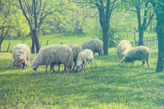 Sheep and lamb on green field Royalty Free Stock Images