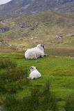 Sheep lamb green grass Scotland. Sheep and lamb having a rest on a green hill in Scotland, upright format, copyspace Royalty Free Stock Photography
