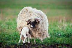 Sheep with lamb Stock Photos