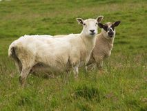 Sheep and lamb in green paddock. Old sheep and lamb standing in green pasture stock photos