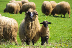 Sheep and lamb at a farm Royalty Free Stock Images