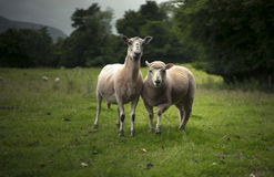 Sheep and Lamb. Herefordshire, UK. Sheep and Lamb, despite the large size of the lamb, it stays close to its mother for an extended period of time Stock Image