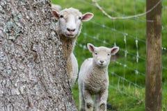 Sheep Lamb. Hiding behind tree sheep and lamb Stock Images