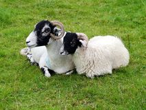 Sheep and lamb with horns Stock Images