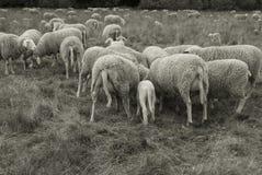 Sheep and Lamb II. Sheep farm - gray scale - sheep and lamb Stock Photos
