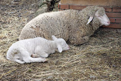 Sheep with the lamb. Lie on the ground Stock Image