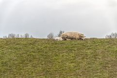 A sheep and lamb on the edge of a meadow. A sheep and lamb lie on the hill of a pasture stock images