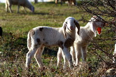 Sheep and lamb. A little lamb eating grass and tree Stock Photo