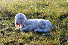 Sheep and lamb. A little lamb is quite sleeping on the grass in a beautiful sunny day Royalty Free Stock Photo