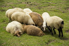 Sheep with lamb Royalty Free Stock Photos